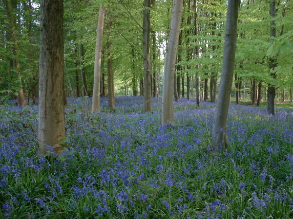 Bluebell_copse